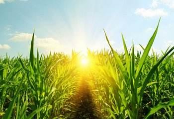 今年黑龍江省玉米單產品質為近